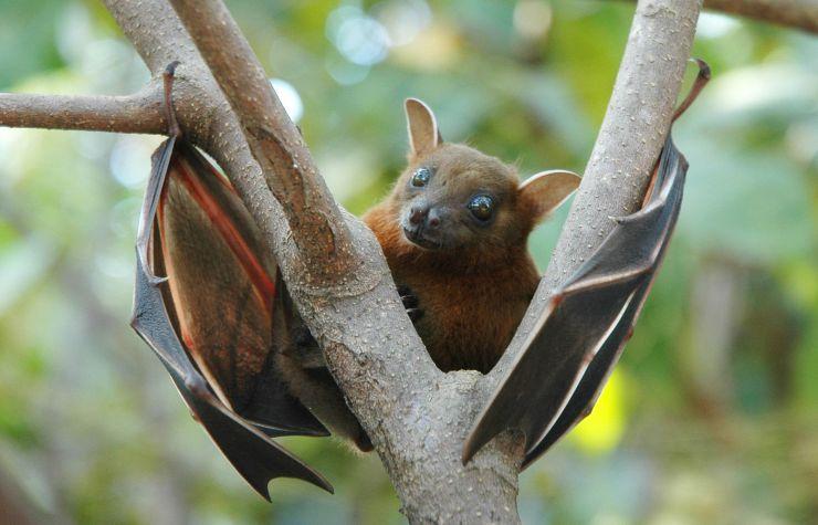Lesser_short-nosed_fruit_bat_(Cynopterus_brachyotis).jpg